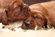 3.Шикарные щенки Ирландского красного сеттера